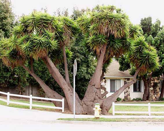درخت یوکا ۳۰ ساله