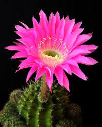 گلهای کاکتوس