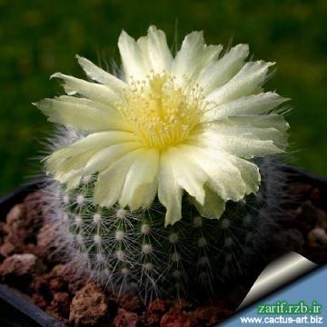 notocactus picture