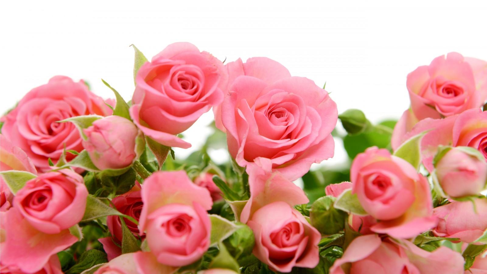 والپیپر های جدید از گل های رز صورتی با کیفیت HD