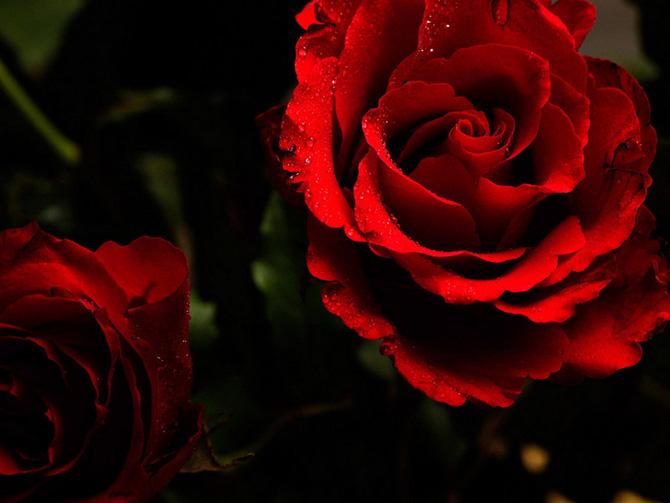 عکس های گل رز زیبا و قشنگ