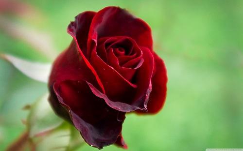 http://rozup.ir/view/1110231/beautiful_red_rose-wallpaper-1440x900.jpg