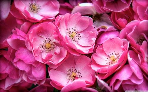 http://rozup.ir/view/1110232/beautiful_wild_roses-wallpaper-1440x900.jpg