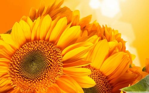 http://rozup.ir/view/1110235/golden_sunflowers-wallpaper-1440x900.jpg