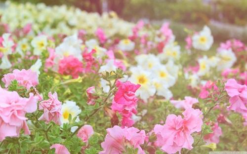 http://rozup.ir/view/1110237/petunias_field-wallpaper-1440x900.jpg