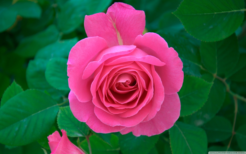 http://rozup.ir/view/1110238/pink_rose_6-wallpaper-1440x900.jpg