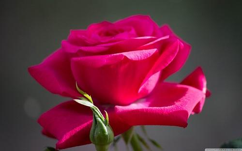 http://rozup.ir/view/1110240/red_rose_8-wallpaper-1440x900.jpg