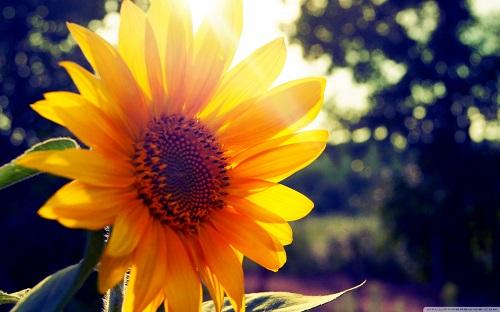 http://rozup.ir/view/1110244/sunflower_sunshine-wallpaper-1440x900.jpg