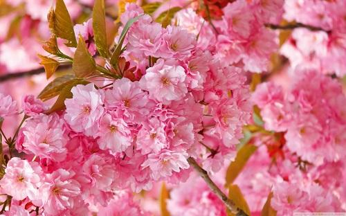http://rozup.ir/view/1136835/beautiful_pink_japanese_sakura_tree-wallpaper-1440x900.jpg
