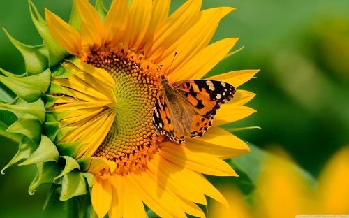 http://rozup.ir/view/1136837/butterfly_on_sunflower-wallpaper-1440x900.jpg