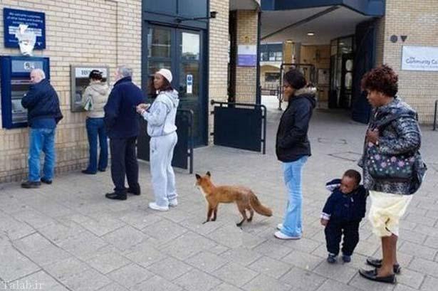 روباهی در صف عابر بانک