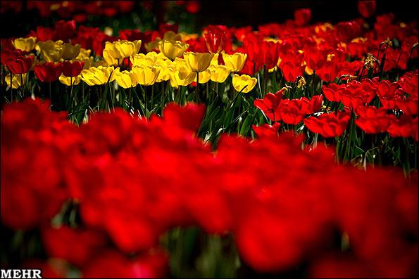 تصاویر: باغی از لاله در خانه ی یک خوش ذوق تبریزی