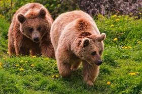 راز خواب زمستانی خرسها کشف شد