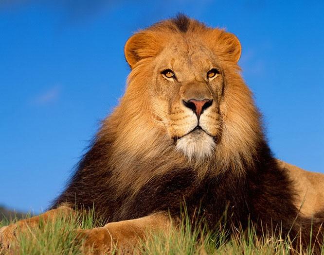 عکس های خیره کننده و زیبا از شیر سلطان جنگل