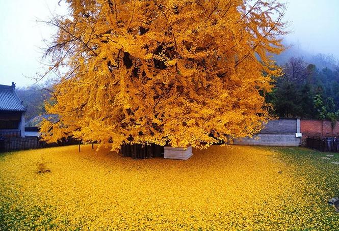برگ ریزان رویایی درخت ژینکو در معبدی بودایی