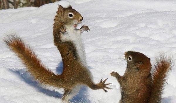 برف بازی سنجاب های شیطان! /عکس