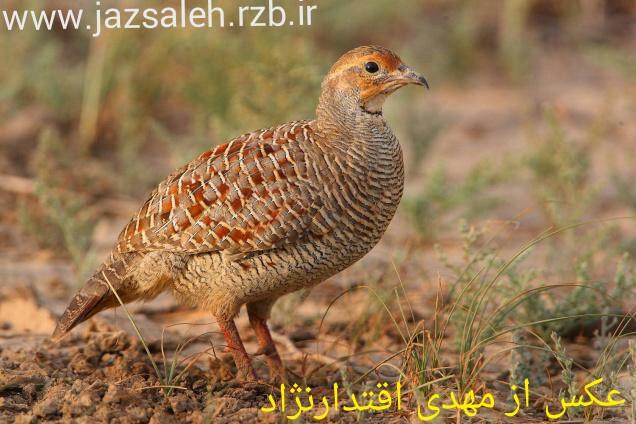 آشنایی با پرنده زیبای کمنزیل(مرغ جیرفتی)