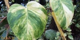 دانستنی های در مورد گیاه آپارتمانی پوتوس ابلق