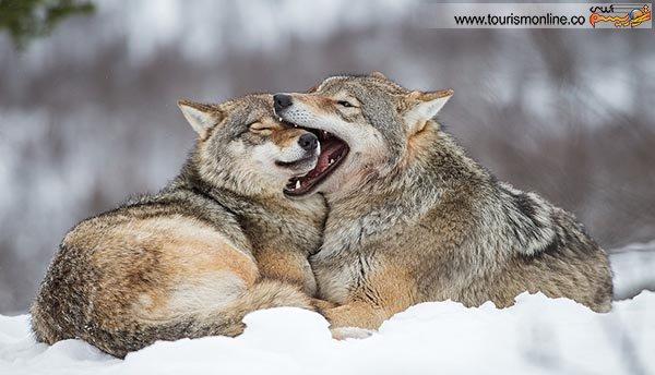 تصاویر:مهربان ترین گرگ های دنیا!