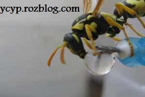 تصاویری دیدنی از آب خوردن زنبور ها