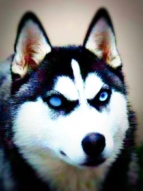 استیکر گرگ سیاه