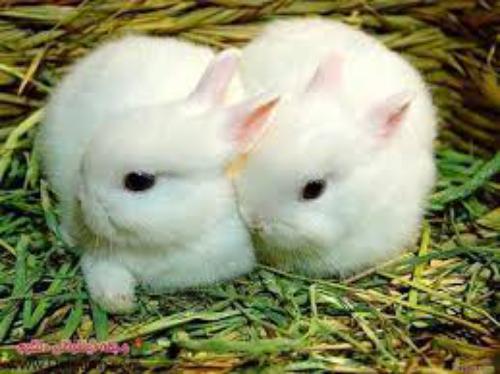 استیکرهای خرگوش