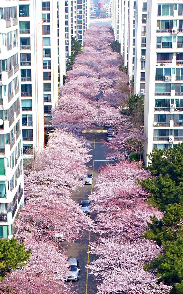 عکس شکوفه های گیلاس در دو طرف خیابانی در شهر بندری بوسان در کره جنوبی