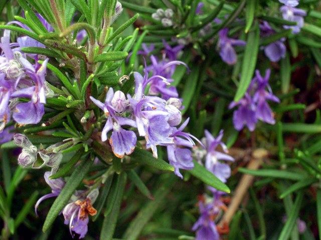 گیاهان آپارتمانی  ویسگون