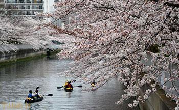 تصاویری بسیار  زیبا از شکوفههای گیلاس در چین و ژاپن