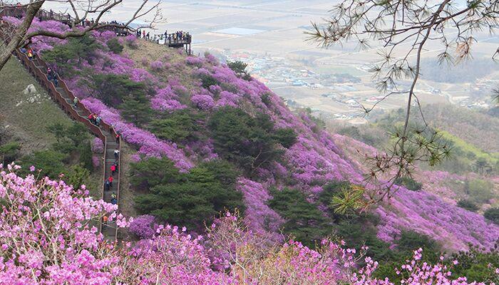 فستیوال گل های بهاری در کوه Goryeosan