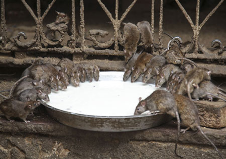 معبدی با 20،000 موش مقدس