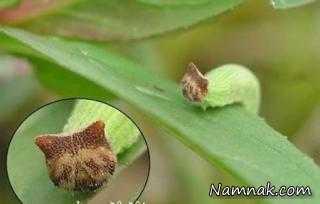 عجیب ترین حشرات دنیا! + تصاویر