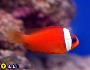دلقک ماهی گوجه فرنگی را بیشتر بشناسید