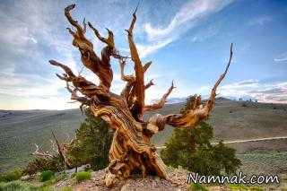 درختان کهنسال با قدمت چند هزار ساله +عکس