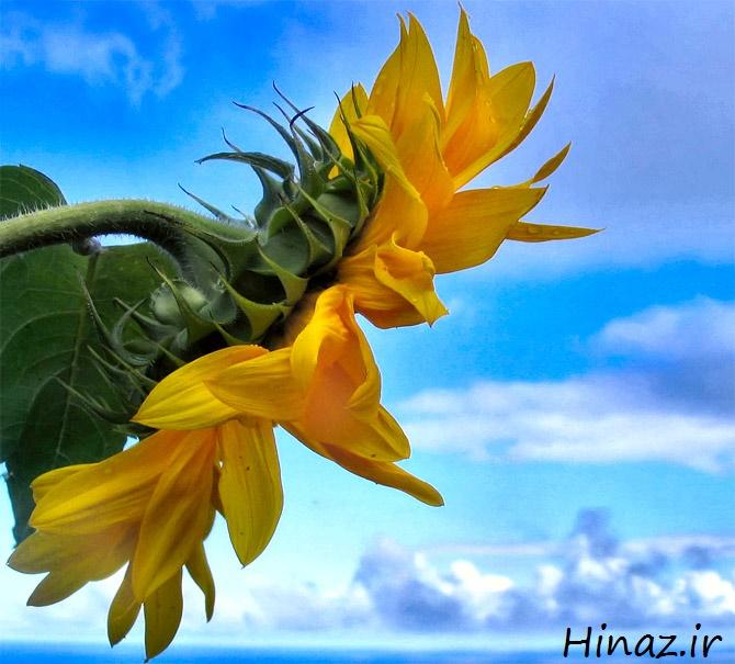 عکس, این گلها هوای منزل شما را از ویروسها و ریزگردها تصفیه میکنند