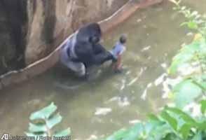 کودک ۴ ساله در قفس گوریل (+عکس و فیلم)