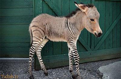 تصاویری جالب از حیوانات دورگه