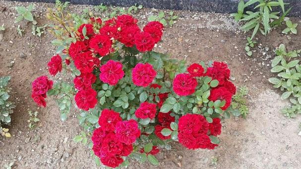 گل رز(تبریز)
