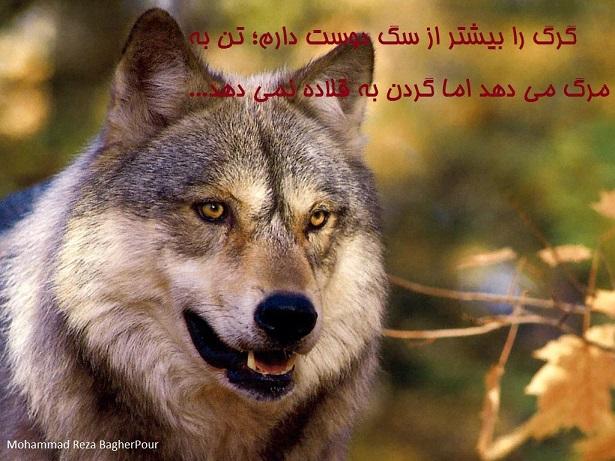گرگ...