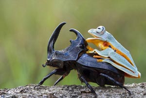 تصاویری جالب از سوسک سواری قورباغه