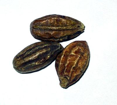 خواص هلیله سیاه در طب سنتی