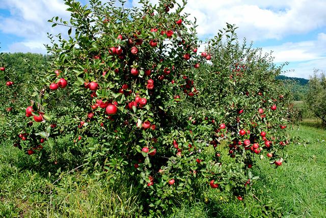 جلوگیری از ریزش میوه در سیب