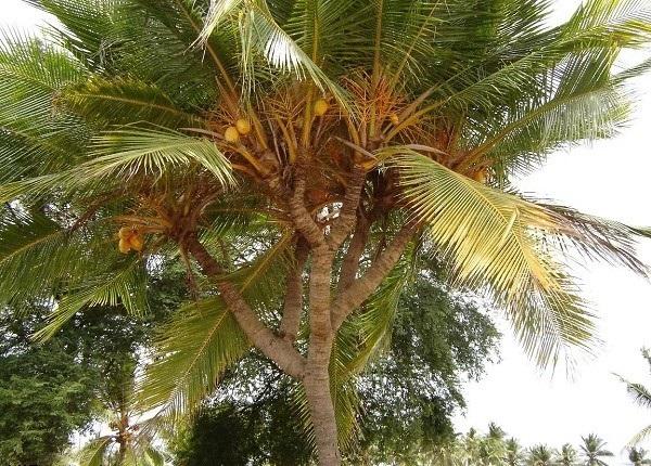 کاشت یک درخت نارگیل