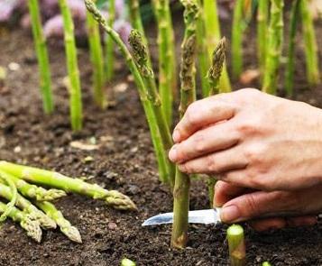 Asparagus مارچوبه
