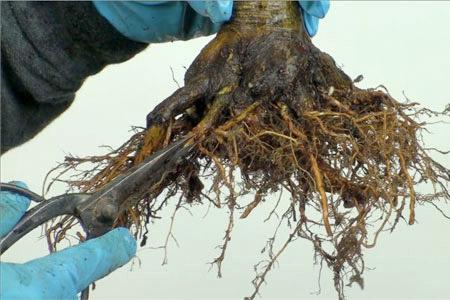 آموزش خارج کردن بونسای از گلدان جهت هرس ریشه و تعویض گلدان
