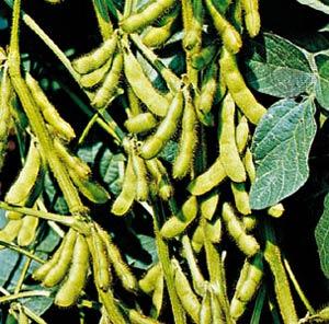لوبيا Phasaeolous vulgaris نام علمی