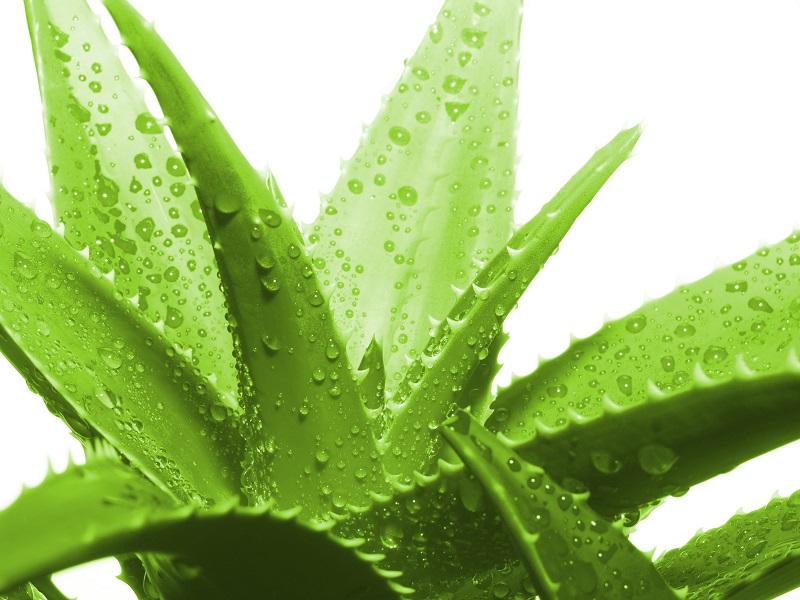 خواص صبرزرد Aloe vera