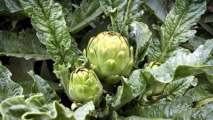 کنگر گیاهی است علفی که در ایران نیز پرورش داده میشود