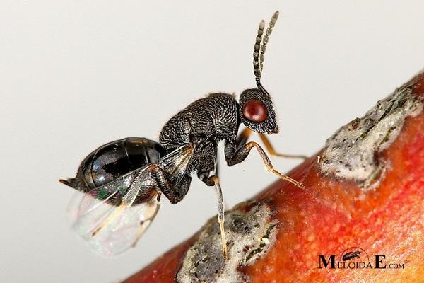 زنبور مغزخوار بادام