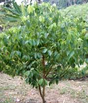 در هند بهنام ِ «دالجین» و در اندونزی بنام چوب شیرین یا «کایو مانیس» نامیده میشود.
